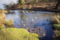 Birds flying over a river. In a local park in winter Royalty Free Stock Photos