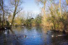 Birds flying over a river. In a local park in winter Royalty Free Stock Image