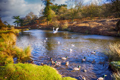Birds flying over a river. In a local park in winter Stock Photo