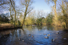 Birds flying over a river. In a local park in winter Royalty Free Stock Photo