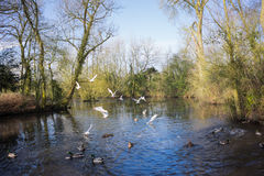 Birds flying over a river. In a local park in winter Stock Photography