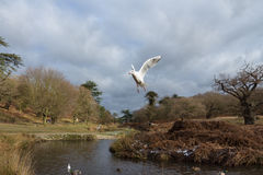 Birds flying over a river in a park at wintertime Royalty Free Stock Image