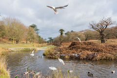 Birds flying over a river in a park at wintertime Royalty Free Stock Photo