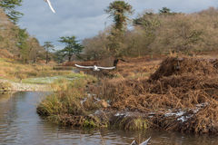 Birds flying over a river in a park at wintertime Royalty Free Stock Photos