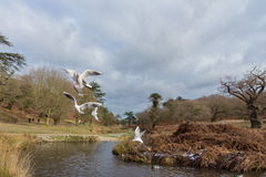 Birds flying over a river in a park at wintertime Royalty Free Stock Images