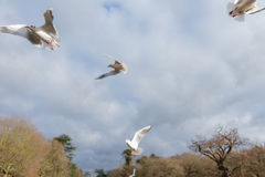 Birds flying over a river in a park at wintertime Stock Photo