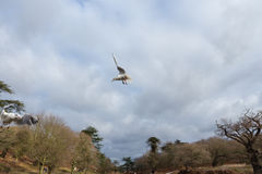 Birds flying over a river in a park at wintertime Stock Photography