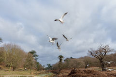 Birds flying over a river in a park at wintertime. Cold but dry cloudy sky with some blue in it 2017 Royalty Free Stock Images
