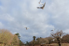 Birds flying over a river in a park at wintertime. Cold but dry cloudy sky with some blue in it 2017 Stock Images