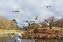 Birds flying over a river in a park at wintertime. Cold but dry cloudy sky with some blue in it 2017 Stock Photo