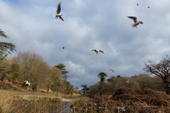 Birds flying over a river in a park at wintertime. Cold but dry cloudy sky with some blue in it 2017 Royalty Free Stock Photography