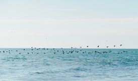 Birds flying over the sea. Long flock of birds flying over sea surface royalty free stock photography