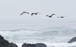 Birds Flying Over the Waves and through the Fog Stock Photos