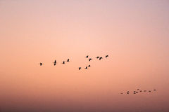 Birds flying in pattern - 3 Royalty Free Stock Photos
