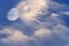 Birds Flying Silhouette Moon Royalty Free Stock Photography