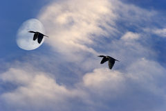 Birds Flying Silhouette Moon Stock Images
