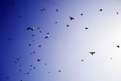 Birds flying Royalty Free Stock Image