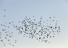 Birds flying in the sky. Photographed close-up blue sky, in which a flock of birds flying, visible silhouettes, daytime Royalty Free Stock Images
