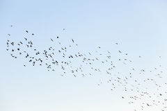 Birds flying in the sky. Photographed close-up blue sky, in which a flock of birds flying, visible silhouettes, daytime Royalty Free Stock Photo