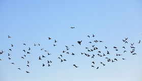 Birds flying in the sky Stock Photography