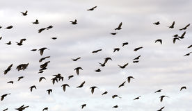 Birds flying in the sky. Photographed close-up blue sky, in which a flock of birds flying, visible silhouettes, daytime, clouds Stock Photography