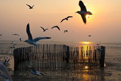 The birds flying on sky of sunset. Flocks of birds flying in the sunset  are about to fall on the river Stock Image