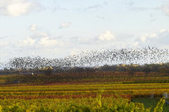 Birds flying south. Birds over wineyards, Germay Stock Photo