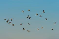 Birds flying in sunlight Stock Photography