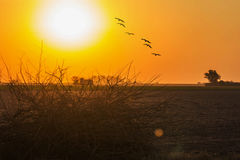 Birds flying in the sunset Stock Images