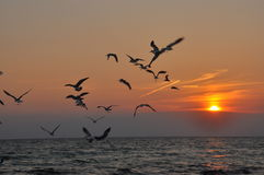 Birds Flying into the sunset. Seagulls flying into the Sunset off Panama City Beach royalty free stock image