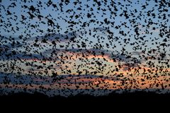 The birds are flying on sunset sky. Very large flock of birds flying high against beautiful sunset sky Stock Photography