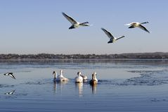 Birds flying and swimming Stock Photography