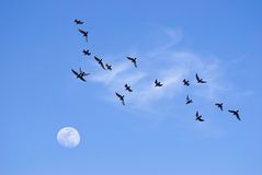 Birds flying toward the moon Royalty Free Stock Photo