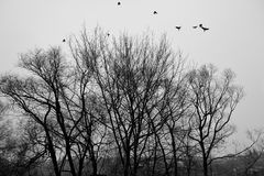 Birds are flying up to sky from trees. Black and white photo.  stock image