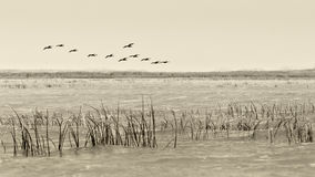 Birds flying - vintage  black  and white style Stock Photos
