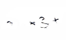 Birds flying. On white background stock photography