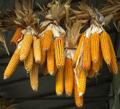 Birds Fodder. Bunches of corn drying in the shed Stock Photo