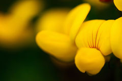Birds foot trefoil Stock Image