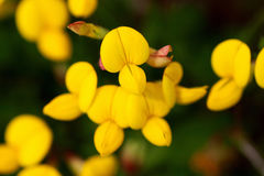 Birds foot trefoil Royalty Free Stock Photography