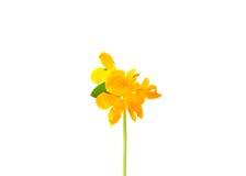 Birds-foot-trefoil (Lotus corniculatus) Royalty Free Stock Images