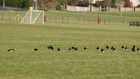 Birds on a Football Field. Birds lined up on a football/soccer field stock photos