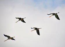 Birds formation, Ahula, Israel Stock Photography