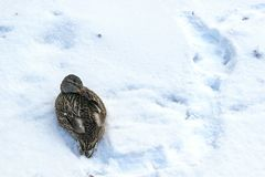 Birds freeze in winter. The duck hid the beak. Bird lying on the snow stock photos