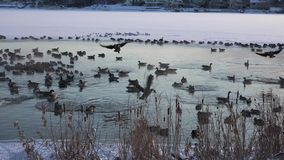 Birds In Frozen Hot Spring stock video footage