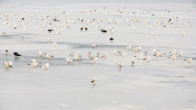 Birds on frozen lake Stock Photo