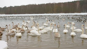 Birds on frozen lake at winter. Tens of hundreds of swans and ducks. Birds on frozen lake at winter. Tens of hundreds of swans and ducks stock video footage