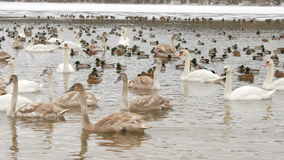 Birds on frozen lake at winter. Tens of hundreds of swans and ducks. Birds on frozen lake at winter. Tens of hundreds of swans and ducks stock footage