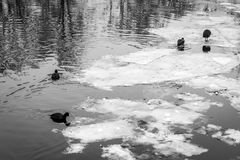 Birds in a frozen river with icebergs Royalty Free Stock Photography
