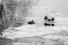 Birds in a frozen river with icebergs Royalty Free Stock Photos