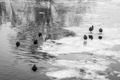 Birds in a frozen river with icebergs Royalty Free Stock Image